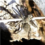 Furry Wolf Spider on Rocks