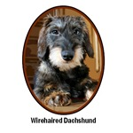Wirehaired Dachshund T-shirts & Gifts