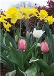 Tall Daffodils