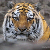 Siberian Tiger Photography
