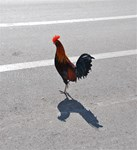 Chicken Crossing the Road???