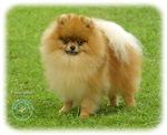 Pomeranian 8T087D-06