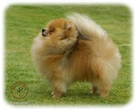Pomeranian 9T072D-001