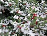 Snowy Holly