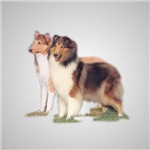 Rough Collie_Smooth Collie