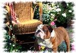 English Bulldog Gifts of Art