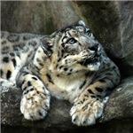 Snow Leopard Stuff