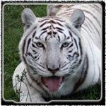 White Tiger Stuff