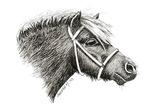 HORSES - THE SHETLAND PONY