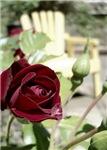 A Garden Rose