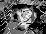Black and White Rose and Chainlink