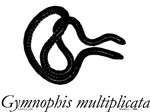 Caecilian (Gymnophis)