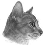 Abysinnian Cat