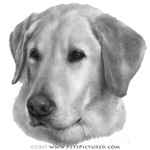 Sam, Yellow Labrador Retriever