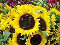 Bee Dance on a Sunflower Day Merchandise