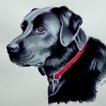 Hawke, Black Labrador Retriever