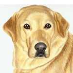 Molly, Yellow Labrador