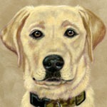 Kasey Yellow Lab