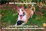 Bull Terrier Rescue Inc. Calendars