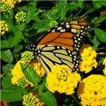 Butterflies and Honey Bees
