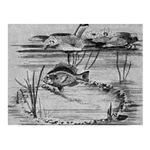 1186 Sunfish Spawing
