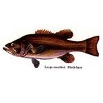 1128 Largemouth Bass