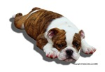 Bulldog Puppy 2