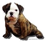 Bulldog Puppy 3