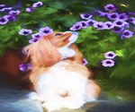 Cavalier King Charles Spaniel Smelling Purple Flow