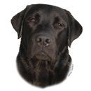 Black Labrador Girl