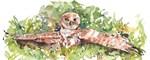 Burrowing Owl #3