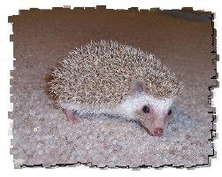 Grayson the Hedgehog