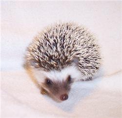 Prima the Hedgehog