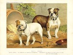 Illustration of Two Bulldogs