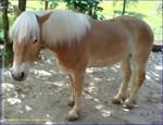Fuego Halflinger Horse