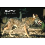 Red Wolf Photo