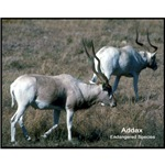 Addax Antelope Photo
