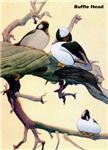 Bufflehead Duck Bird