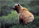 Alaska Grizzly Bear