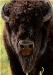 Stand Down Bison