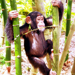 Print A Chimp
