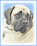 English Mastiff - Multiple Illustrations