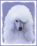 Standard Poodle (White)
