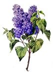 Lilac Drawn From Nature