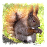 Long Haired Brown Squirrel