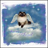 Purr-fect Angel Seal Point Himalayan