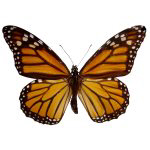 Monarch Butterfly Gifts