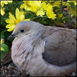 Mourning Dove Gift Ideas