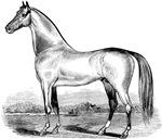 Quarter Horse Illustration Art