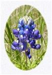 Painted Bluebonnet